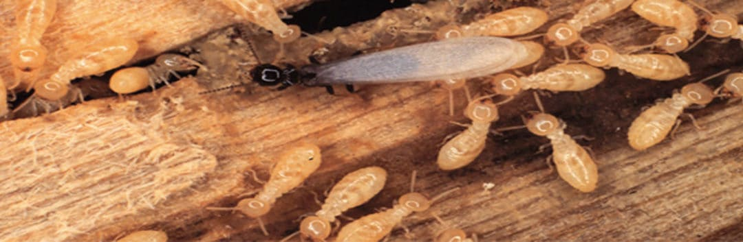 Termite Inspection Houston - Termites